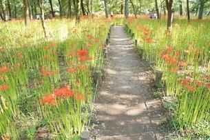 曼珠沙華の咲くころの写真素材 [FYI00216019]