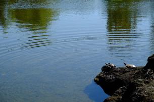 池の亀の写真素材 [FYI00216021]