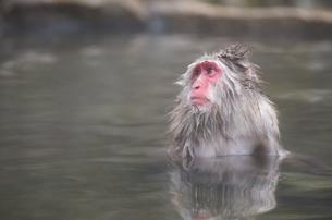 温泉でのぼせるニホンザルの写真素材 [FYI00216067]