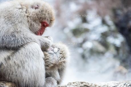 毛づくろいするニホンザルの親子の写真素材 [FYI00216087]