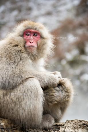 毛づくろいするニホンザルの親子の写真素材 [FYI00216093]