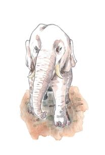 象の写真素材 [FYI00216140]