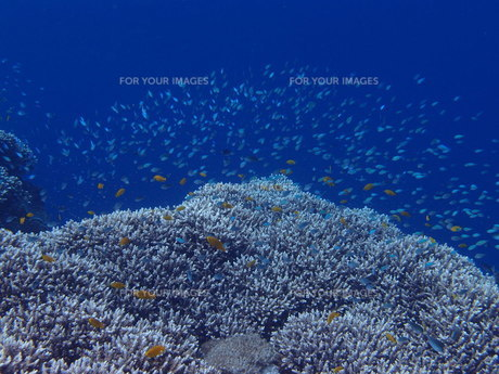 サンゴ礁とカラフルフィッシュの写真素材 [FYI00216180]