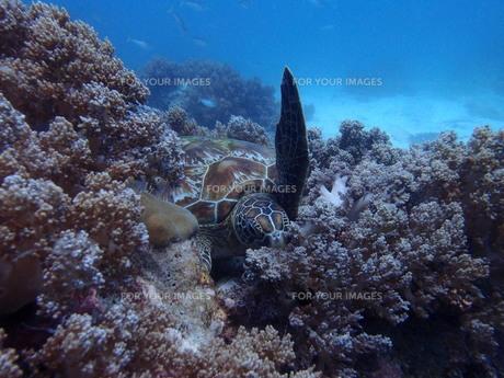 珊瑚とウミガメの写真素材 [FYI00216191]