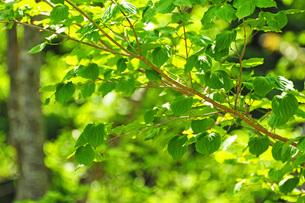 晴天の中の青々とした葉の写真素材 [FYI00216197]