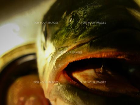 魚の顔の素材 [FYI00216208]