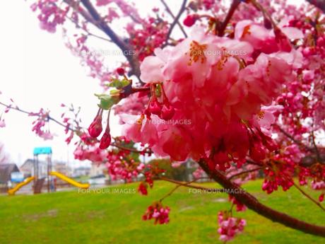 八重桜と滑り台の写真素材 [FYI00216214]