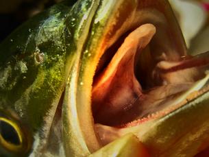 魚の口の写真素材 [FYI00216269]