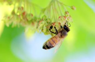 蜜蜂の写真素材 [FYI00216285]