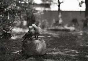 鳩のカップルの写真素材 [FYI00216420]