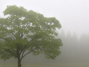 濃霧にたたずむケヤキの写真素材 [FYI00216602]
