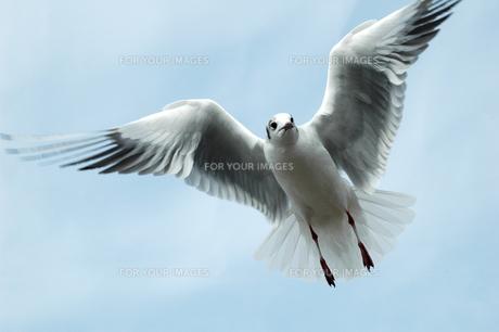 羽ばたくユリカモメの写真素材 [FYI00216676]