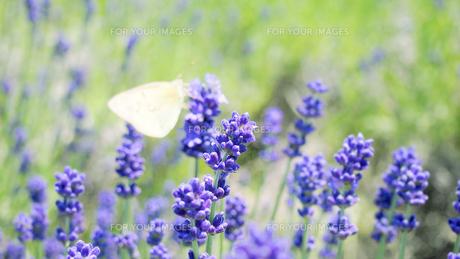 ラベンダーにとまる蝶の写真素材 [FYI00216703]