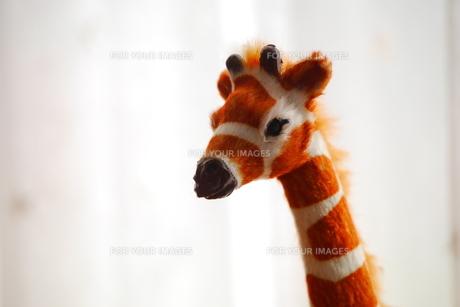 キリンの写真素材 [FYI00216716]