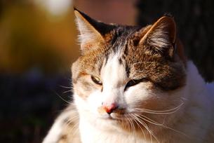 猫の写真素材 [FYI00216735]