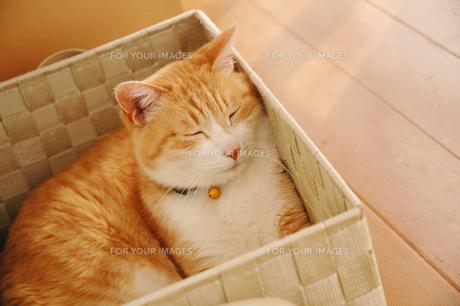 カゴの中で寝る茶トラ猫の写真素材 [FYI00216761]