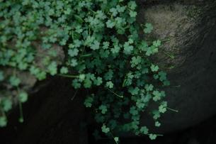 石の間からわきたつ小さな葉の素材 [FYI00216762]