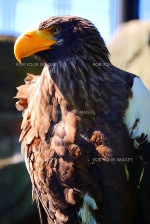 凛々しい鷹の写真素材 [FYI00216764]