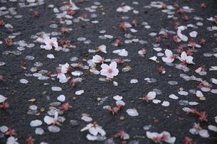 散桜の写真素材 [FYI00216765]