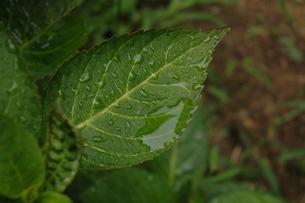 雨に濡れたアジサの葉の素材 [FYI00216768]