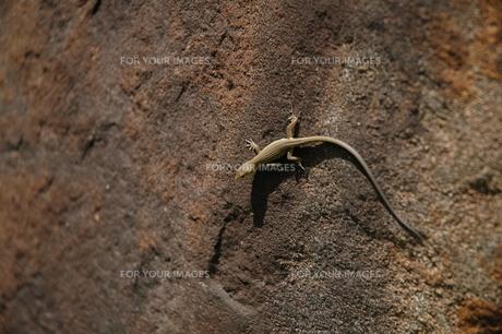 岩壁にはりつくカナヘビの写真素材 [FYI00216779]