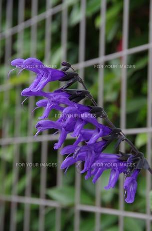蛇に似た花 −紫−の写真素材 [FYI00216786]