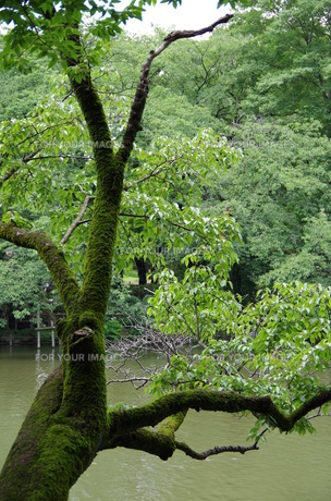 苔が生い茂る木の素材 [FYI00216807]