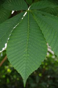 大緑葉の写真素材 [FYI00216809]