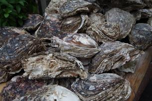 岩牡蠣の写真素材 [FYI00216810]