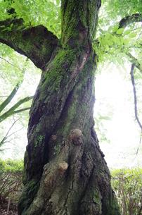 捩木の写真素材 [FYI00216814]