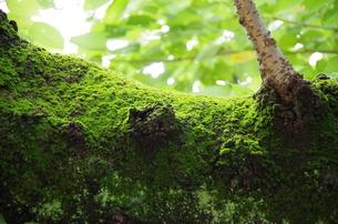 苔に包まれた木の写真素材 [FYI00216817]