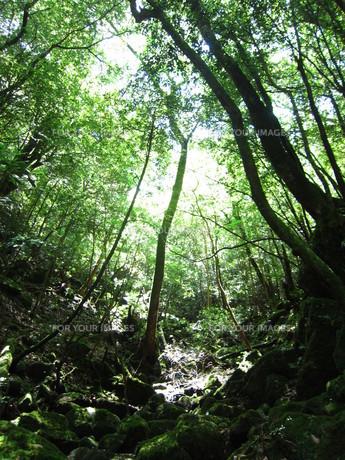 屋久島の森の写真素材 [FYI00216868]