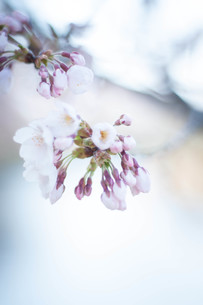 桜、咲くの写真素材 [FYI00217006]