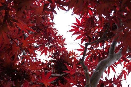 春紅葉の素材 [FYI00217018]