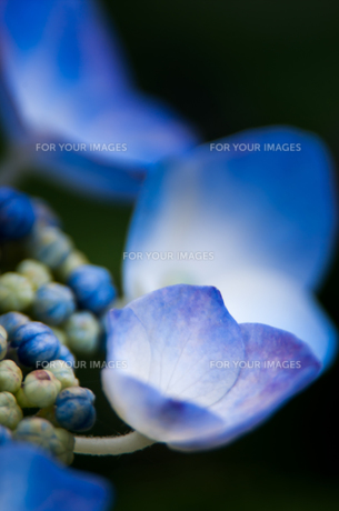紫陽花の素材 [FYI00217034]