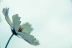 秋桜の素材 [FYI00217050]