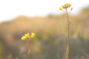 菜の花の写真素材 [FYI00217102]