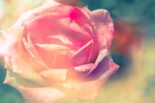 薔薇の素材 [FYI00217144]