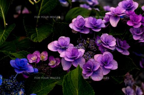 紫陽花の素材 [FYI00217165]