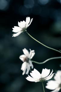 秋桜の素材 [FYI00217179]