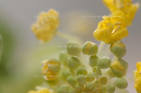 白菜の花の写真素材 [FYI00217259]