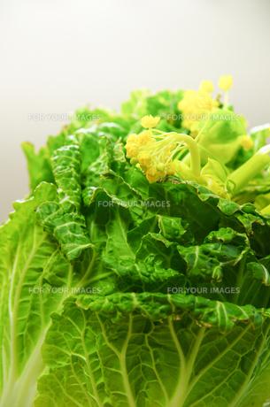 白菜の花の写真素材 [FYI00217273]