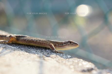 トカゲの日光浴の写真素材 [FYI00217281]