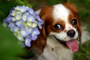 犬と紫陽花の写真素材 [FYI00217389]