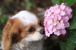 犬と紫陽花の写真素材 [FYI00217393]