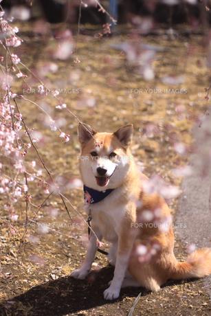 犬と桜の写真素材 [FYI00217415]