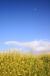 菜の花と月の写真素材 [FYI00217419]