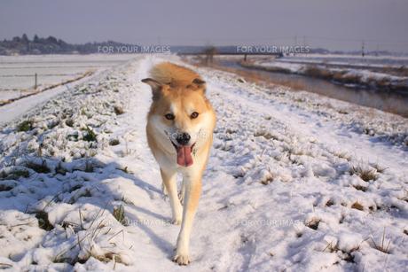 犬と雪の写真素材 [FYI00217420]
