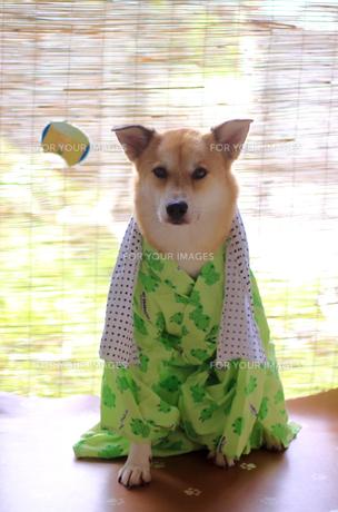 犬の浴衣の写真素材 [FYI00217425]