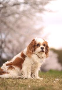 犬と桜の写真素材 [FYI00217426]
